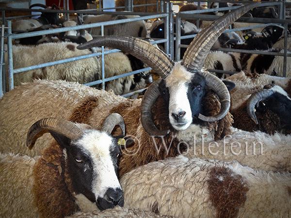 Schafschur Tiere
