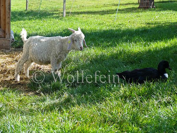 Schafschur Tiere02