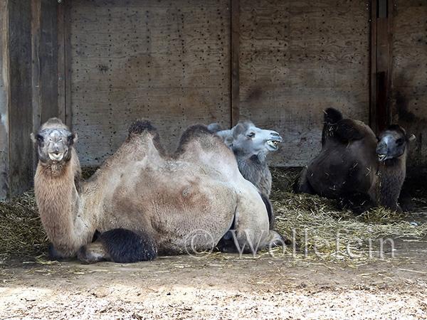 Schafschur Tiere05