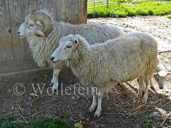 Schafschur Tiere06