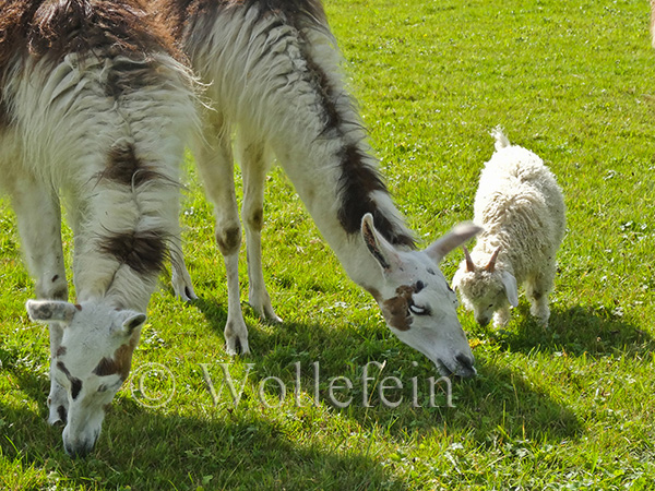 Schafschur Tiere07